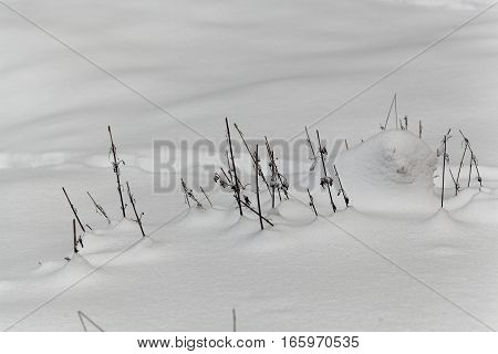 Old grass and plants with a snow cover.