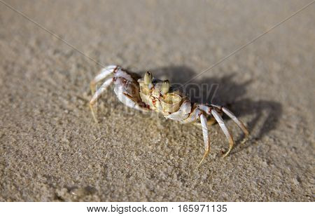 Front View Of A Singular Sand Crab