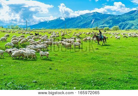 GUDAURI GEORGIA - JUNE 3 2016: The shepherd expels the herd of sheep and goats on the juicy pasture in the mountain region on June 3 in Gudauri.