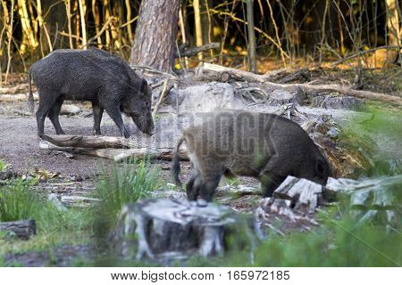 Two Wild Boar Searching For Food, A Wild Boar In The Foreground Blurred