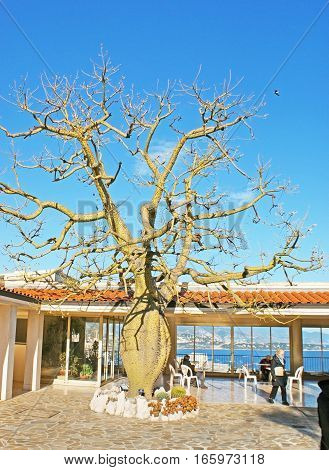 MONACO - FEBRUARY 21 2012: The silk floss tree (Ceiba speciosa) with the swollen trunk growing at the entrance hall of Jardin Exotique botanical garden on February 21 in Monaco.