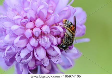 Wild bee buried her nose in the flower petals