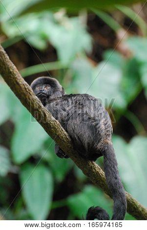 Really cute goeldi's marmoset in the wild.