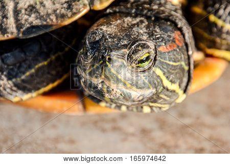 Trachemys Scripta Elegans Tortoise