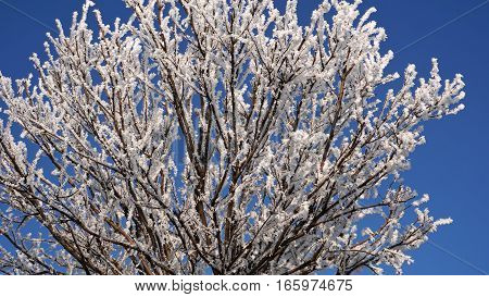 Beautiful snowy branches a top of tree on blue sky backdrop.