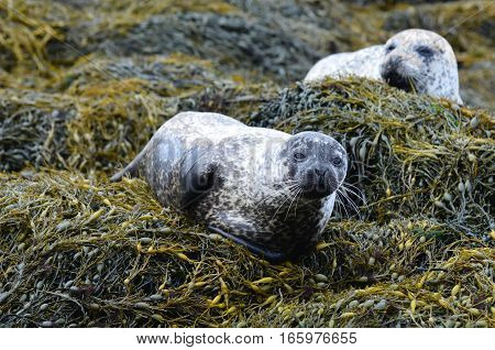 Two harbor seals resting on a bed of seaweed.