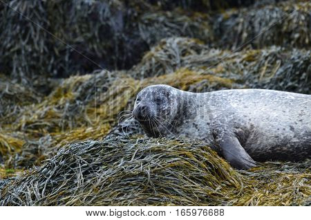 A great face of a sleepy harbor seal on seaweed.