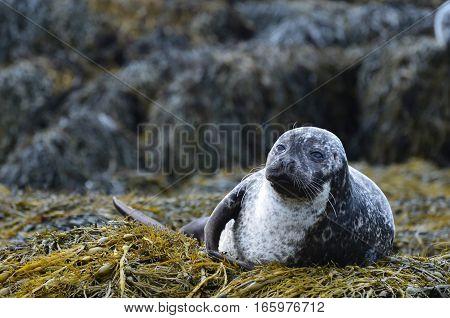 Harbor seal in Loch Dunvegan Scotland Highlands