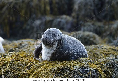 Harbor seal on a large bed of seaweed.