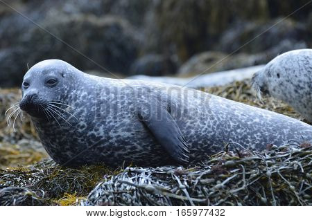 Group of harbor seals on a bed of seaweed.