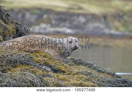 Harbor seal on a bed of seaweed.