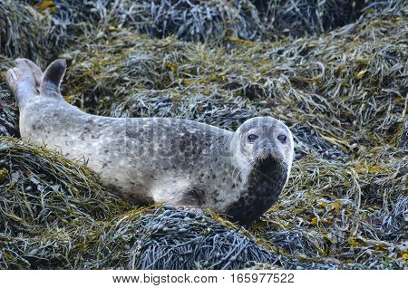 Really cute harbor seal on a bunch of seaweed.