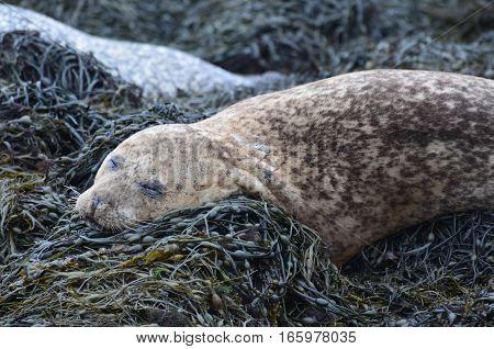 Brown harbor seal sleeping on a bunch of seaweed.