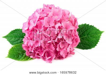Pink flowers with green leaves of hydrangea