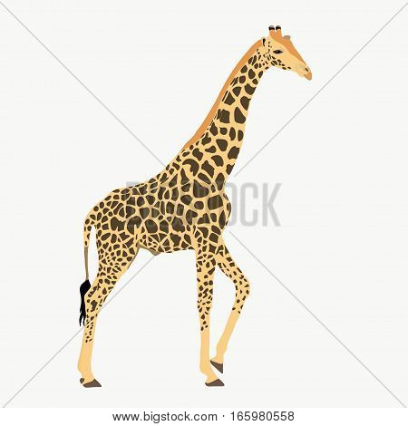 Giraffe, Standing, Lifting One Leg