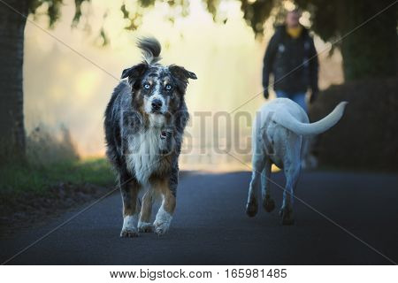 border collie with intense eyes and white labrador retriever meat on the street without any conflict