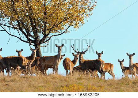 group of red deers standing on top of the hill in mating season ( Cervus elaphus )