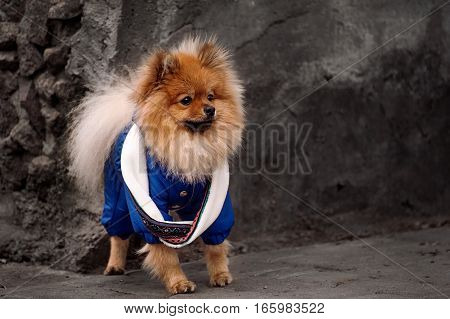 The Pensive, Fluffy pomerian spitz, dog, puppy in the blue dress, pullover, sweater with white scarf is staying on the sidewalk