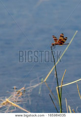 A VIEW OF AN ORANGE AND BLACK STRIPED DRAGONFLY LANDING ON A GRASS STEM IN THE POND
