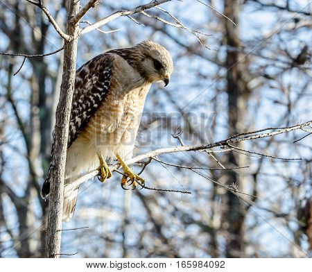 RED SHOULDERED HAWK IN A TREE LOOKING DOWN
