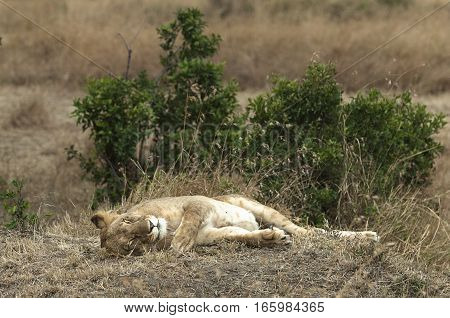 African lioness resting in shadow Masai Mara National Reserve reserve Kenya