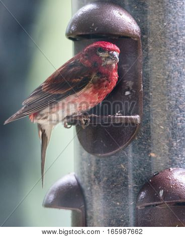 Purple finch (Haemorhous purpureus) through the window, at a feeder.  Springtime brings these color birds where birdseed is made plenty.