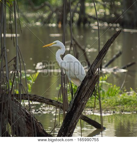 A white heron sits on a broken tree with neck relaxed and curved in a swampy pond reflecting the green colors all around it.