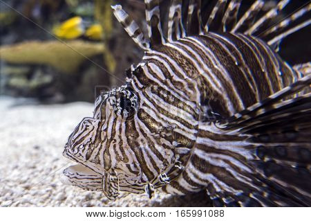 LionFish, ( Pterois volitans) close up, detail