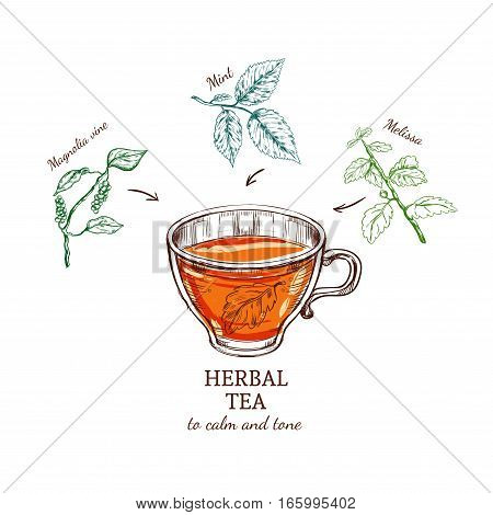 Herbal tea sketch recipe with magnolia mint and melissa ingredients for tone relaxation isolated vector illustration