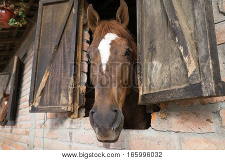 horse looking out on stable window in Ecuador