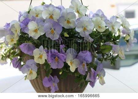 Pansy basket full the light flower variety