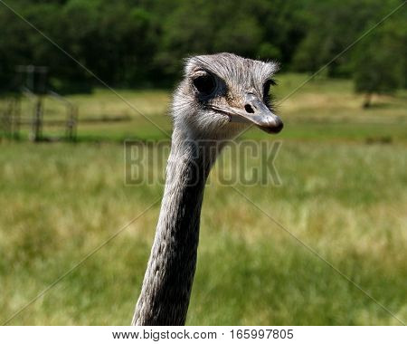 A curious ostrich shows how long their necks are at Wildlife Safari in Winston in Western Oregon on a summer day.