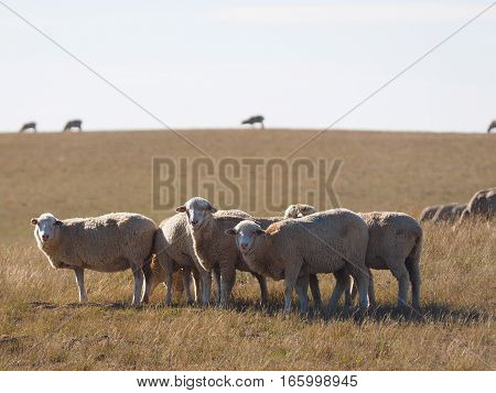 A group of sheep stare at the photographer