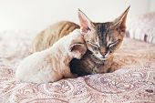Mum cat and kitten. Love and tenderness. Big gray cat and a small cat sleeping together, hugging each other.  Cute cats, family. Devon rex curly cats breed poster