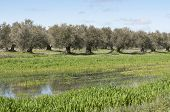 Olive grove in winter. Photo taken in Ciudad Real, Spain poster