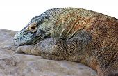 Komodo Dragon or Monitor, isolated on white background poster