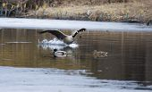 Canadian goose coming for a landing on water. poster