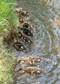 Closeup of ducklings in a feeding frenzy near the shore of the pond. poster