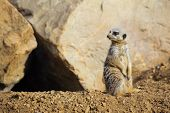 Meerkat watching for predators as he guards the entrance to his home poster
