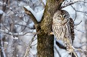 The barred owl is a large typical owl native to North America. Best known as the hoot owl for its distinctive call, it goes by many other names, including eight hooter, rain, wood  and striped owl. poster
