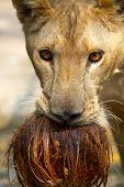 portrait of young lion playing with coconut in city zoo poster