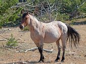 Red Roan Stallion wild horse mustang in the Pryor Mountain Wild Horse Range in Montana USA poster