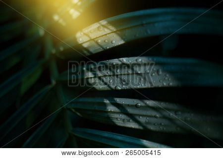 Tropical Palm Leaves With Water Drops In Morning With Shadow Of Dark Background