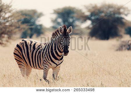 Beautiful Stripped Zebra In African Bush. Etosha Game Reserve, Namibia, Africa Safari Wildlife. Wild