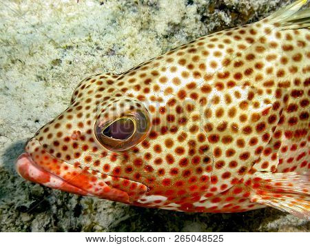 Red Hind, Epinephelus Guttatus, Also Known As The Koon Or Lucky Grouper