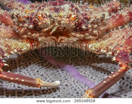 Mithrax Spinosissimus, Cannel Cliinging Crab At Night On Coral Reef