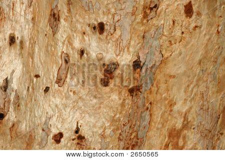 Eucalyptus Tree Bark - Close-Up