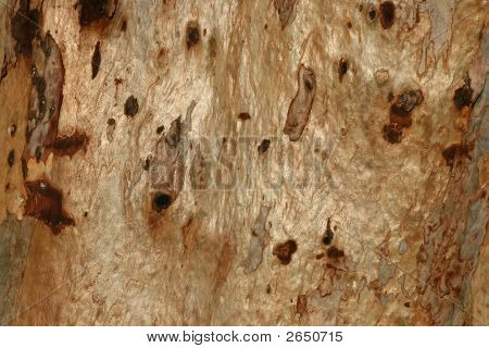 Eucalyptus Tree Bark - Close Up