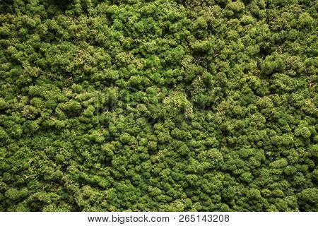 Moss Texture. Moss Background. Green Moss On Grunge Texture, Background Nature