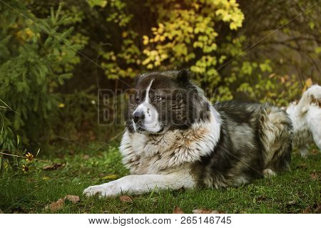Fluffy Caucasian Shepherd Dog In The Yard. Caucasian Sheepdog In Autumn Time.adult Caucasian Shepher